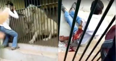 VIDEO Horor u zoološkom vrtu: Posjetitelji gledali kako je lav kroz rešetke zgrabio ruku