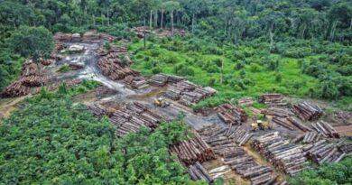 U Amazoniji kriminalna grupa posjekla 9.000 stabala starijih od 100 godina