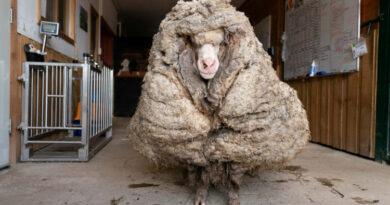 U šumi pronađen ovan s 35 kilograma runa, pet godina se nije šišao